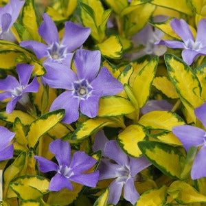 Vinca Minor Illumination- 3L Pot