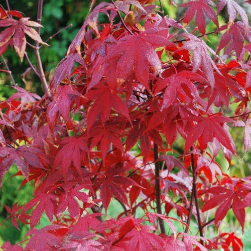 Acer Bloodgood Ornamental Tree- 3L Pot