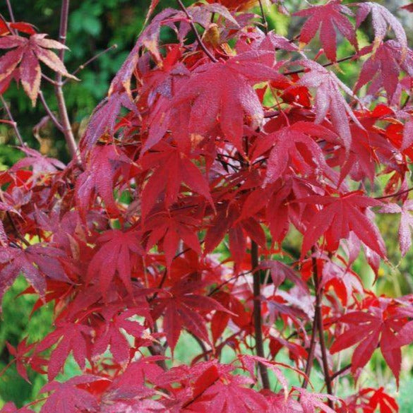 Acer Bloodgood Patio Ornamental Tree- 7.5L Pot