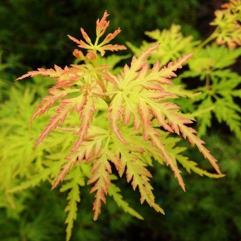 Acer Dissectum Seiryu Patio Ornamental Tree- 7.5L Pot