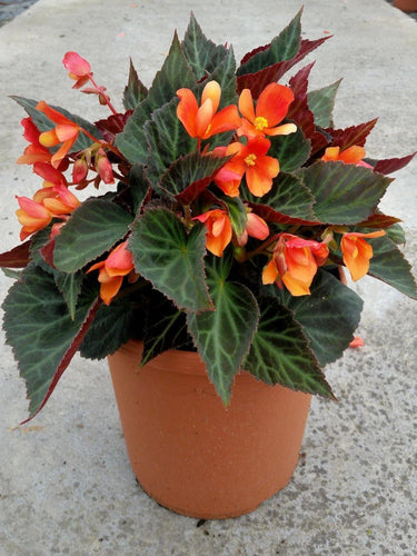 Begonia Glowing Embers Orange - 1L