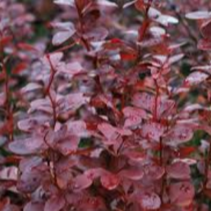 Berberis Admiration 3L