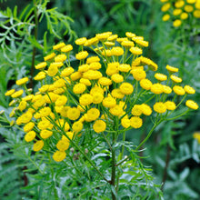 Load image into Gallery viewer, Tansy 'Tanacetum Vulgare'- 9cm Pot
