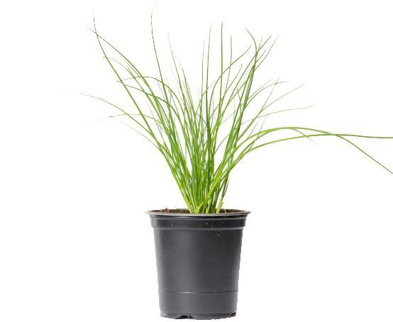 Chives ' Allium Schoenoprasum'- 9cm Pot