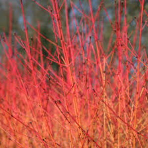 Cornus Midwinter Fire 3L - Bells Gardening