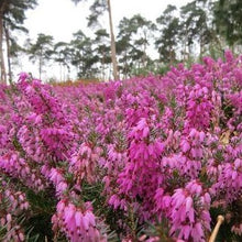 Load image into Gallery viewer, Erica carnea 'Rosalie' - 1 litre garden ready plants