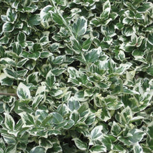 Load image into Gallery viewer, Euonymus Emerald Gaiety- 2L Pot - Bells Gardening