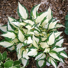 Load image into Gallery viewer, Hosta Fire and Ice - 1.5L Pot