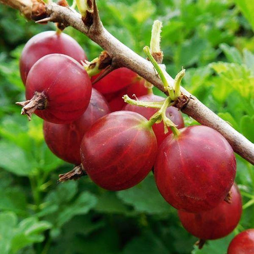 3 x  Potted 2L Gooseberry Hinnonmaki Red  Ribes Uva Crispa Fruit Bush