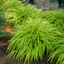 Load image into Gallery viewer, Hakonechloa Macra 'All Gold' - 1.5L Pot