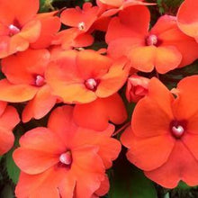 Load image into Gallery viewer, Impatiens Orange- Garden Ready Bedding 6 Pack