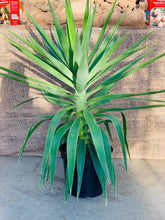 Load image into Gallery viewer, Yucca Elephantipes 7.5L Pot