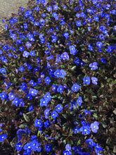 Load image into Gallery viewer, Veronica Georgia Blue - Alpine and Rockery - Perennial - 9cm Pot