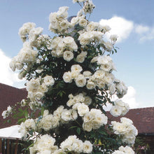 Load image into Gallery viewer, Rose Climbing 'Iceberg' - 4.5 litre Pot Premium Plant