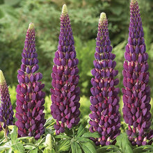 Load image into Gallery viewer, Lupin Masterpiece West Country - Garden Ready 2L Pot - Bells Gardening