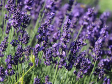 Load image into Gallery viewer, Lavender Blue - 14cm Pot - English Lavender