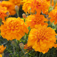 Load image into Gallery viewer, Marigold French Orange- Garden Ready Bedding 6 Pack