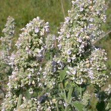 Load image into Gallery viewer, Catnep 'Nepeta Cataria' 9cm Pot