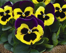 Load image into Gallery viewer, Pansy Bedding- 6 Pack - Variety of Colours Available