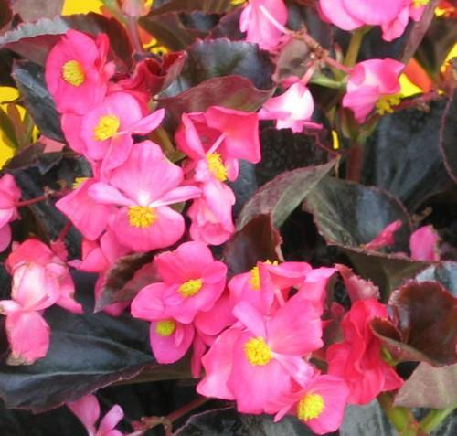 Begonia Bronze Leaf Pink- Garden Ready Bedding 6 Pack