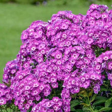 Load image into Gallery viewer, Phlox Laura - 1.5L Pot