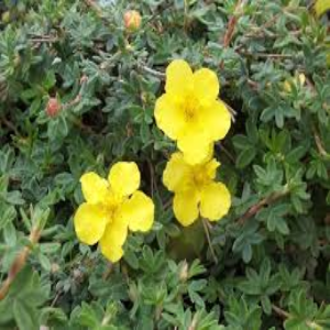 Potentilla Medicine Wheel Mountain 3L - Bells Gardening