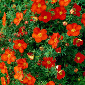 Potentilla Red Robin 3L