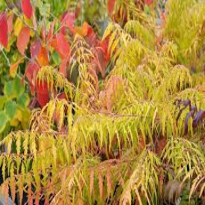 Rhus Tiger Eyes 3L