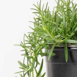 Rosemary Trailing- 9cm Pot