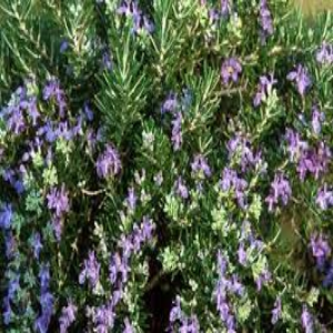 Rosemary Roman Beauty 3L - Bells Gardening