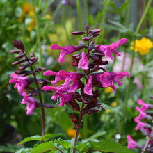 Load image into Gallery viewer, Salvia Rockin Fuchsia - Garden Ready 1.5 L Pot
