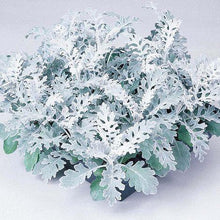 Load image into Gallery viewer, Cineraria Silver Dust- Garden Ready 6 Pack