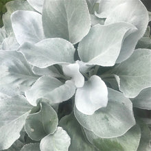 Load image into Gallery viewer, Senecio Candicans 'Angel Wings' - 2L Pot