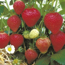 Load image into Gallery viewer, Strawberry Florence- 9cm Pot