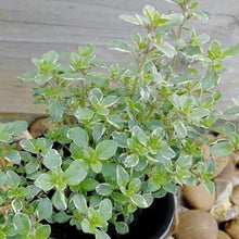 Load image into Gallery viewer, Thyme Silver Queen- 9cm Pot