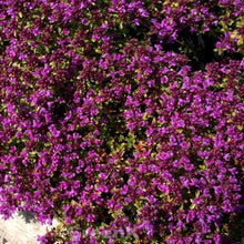 Load image into Gallery viewer, Thymus Praecox Red Carpet- 9cm Pot