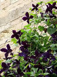Clematis Black Prince - 3L Pot