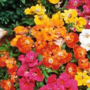 Nemesia- 3L Pot - Mixed Colour - Bells Gardening