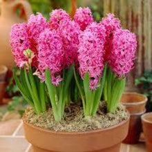 Load image into Gallery viewer, Hyacinth Spring Bulbs- Pack Of 4 Pink - Bells Gardening