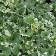 Load image into Gallery viewer, Nepeta Variegated- 10.5cm - Bells Gardening
