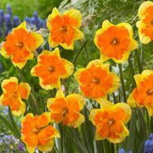 Narcissus Congress Spring Bulbs- Pack of 5
