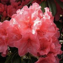 Load image into Gallery viewer, Rhododendron Mayor Johnson- 10L Pot - Garden Ready Specimen