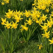 Narcissi cyclamineus February Gold- Pack of 5