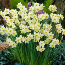 Load image into Gallery viewer, Narcissi Minnow Spring Bulbs Ready To plant - 9cm Pot - Bells Gardening