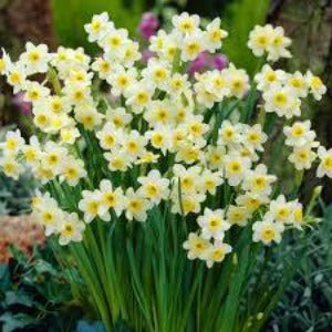 Narcissi Minnow Spring Bulbs Ready To plant - 9cm Pot - Bells Gardening
