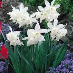 Narcissi Thalia Spring Bulbs- Pack of 5