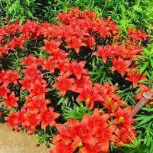 Lilium 'Crimson Pixie' Summer Loose Bulbs- x3 - Bells Gardening