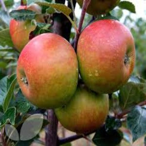Potted 7.5L Apple 'Cox's Orange Pippin' Fruit Tree