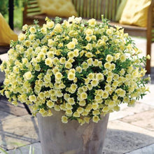 Load image into Gallery viewer, Petunia Vivini Yellow- 1L Pot - Bells Gardening