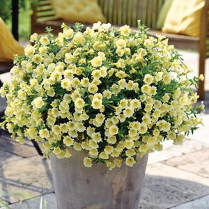 Petunia Vivini Yellow- 1L Pot - Bells Gardening